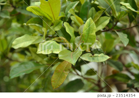 樹木:サポジラ アカテツ科の写...