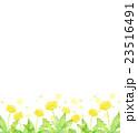 水彩イラスト たんぽぽ 23516491
