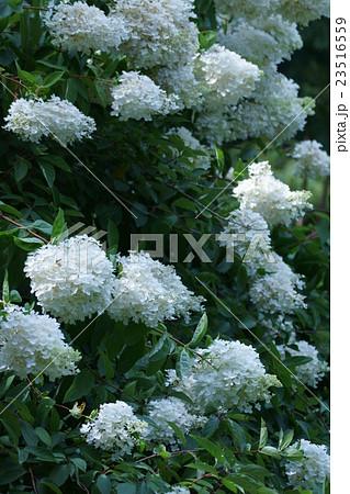 糊空木ノリウツギ 品種は水無月(みなづき) 23516559