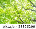 楓 新緑 春の写真 23526299