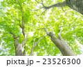 楓 新緑 春の写真 23526300