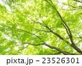 楓 新緑 春の写真 23526301