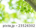 楓 新緑 春の写真 23526302