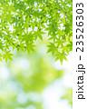 楓 新緑 春の写真 23526303