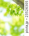 楓 新緑 春の写真 23526305