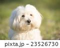 小型犬 マルチーズ 23526730