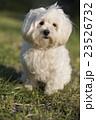 小型犬 マルチーズ 23526732