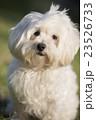 小型犬 マルチーズ 23526733