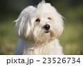 小型犬 マルチーズ 23526734