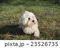 小型犬 マルチーズ 23526735