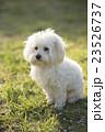 小型犬 マルチーズ 23526737