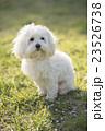 小型犬 マルチーズ 23526738