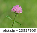 赤詰草 紫詰草 花の写真 23527905