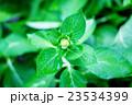 あじさい アジサイ 紫陽花の写真 23534399