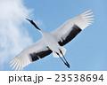 青空を飛ぶタンチョウ 23538694