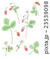 ワイルドストロベリー 苺 水彩のイラスト 23539098