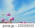 秋桜 コスモス 秋空の写真 23539335