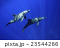 イルカ ミナミハンドウイルカ 海中の写真 23544266