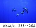 イルカ ミナミハンドウイルカ 海中の写真 23544268