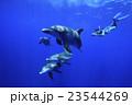 小笠原のミナミハンドウイルカとドルフィンスイム 23544269