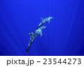 イルカ ミナミハンドウイルカ 海中の写真 23544273