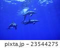 小笠原のミナミハンドウイルカ 23544275