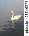 白鳥 23546375