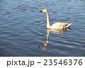 白鳥 23546376