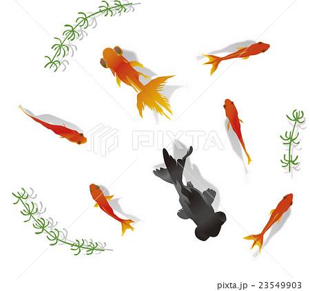 金魚イラストのイラスト素材 23549903 Pixta