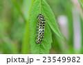 昆虫 キアゲハ 幼虫の写真 23549982