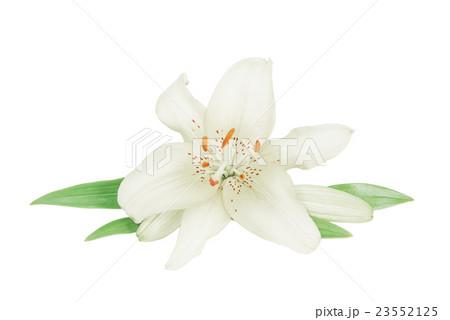 White lily on a white backgroundの写真素材 [23552125] - PIXTA