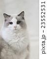 動物 猫 ペットの写真 23552531