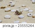 小笠原南島のムラサキオカヤドカリ 23555264