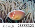 海水魚 魚 ハナビラクマノミの写真 23555323