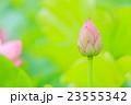 東京 上野公園 不忍池の蓮 23555342