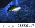 シロワニを見るダイバー 23556117