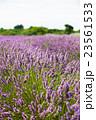 ラベンダー畑 イギリス 23561533