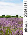 ラベンダー畑 イギリス 23561564