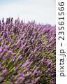 ラベンダー畑 イギリス 23561566