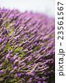 ラベンダー畑 イギリス 23561567