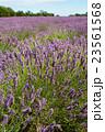 ラベンダー畑 イギリス 23561568