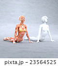 ヨガポーズ 筋肉標本 人体 女性 perming3DCG  イラスト素材 23564525
