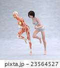 走る女性 筋肉標本 人体 女性 perming3DCG  イラスト素材 23564527
