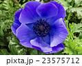 花 アネモネ ボタンイチゲの写真 23575712