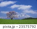 小岩井農場 エドヒガン 春の写真 23575792
