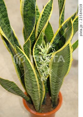サンスベリア(トラノオ)の花 23584039