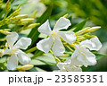 キョウチクトウ 花 キョウチクトウ科の写真 23585351