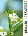 キョウチクトウ 花 キョウチクトウ科の写真 23585352
