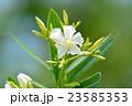 キョウチクトウ 花 キョウチクトウ科の写真 23585353