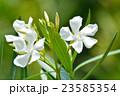 キョウチクトウ 花 キョウチクトウ科の写真 23585354